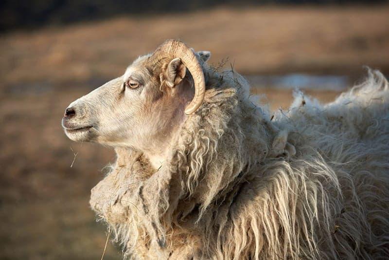 Icelandic Lopi Wool